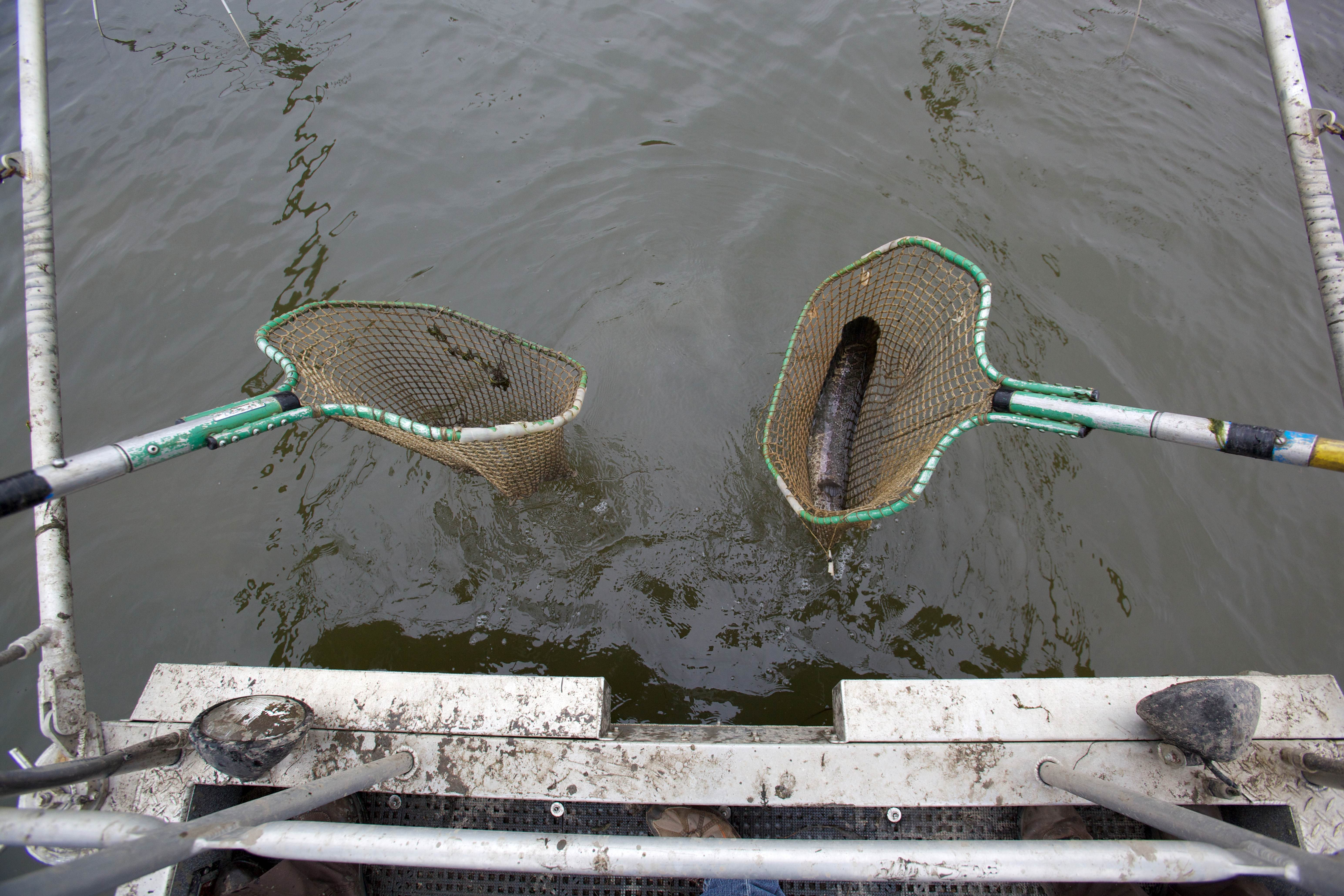 Free photograph; electrofishing, northern, snakehead, fish