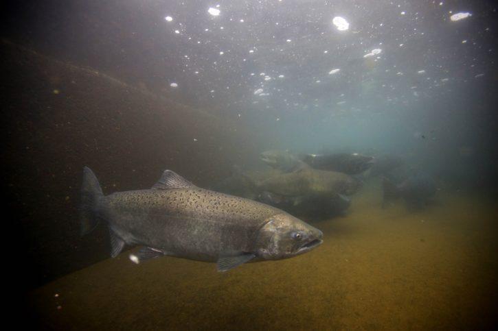 fall, Chinook, fish, salmon, adults, underwater, photography