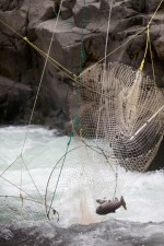fall, Chinook, salmon, traditional, dip, nets