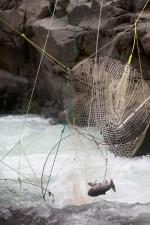 fallen, Chinook, Lachs, traditionell, dip, Netze