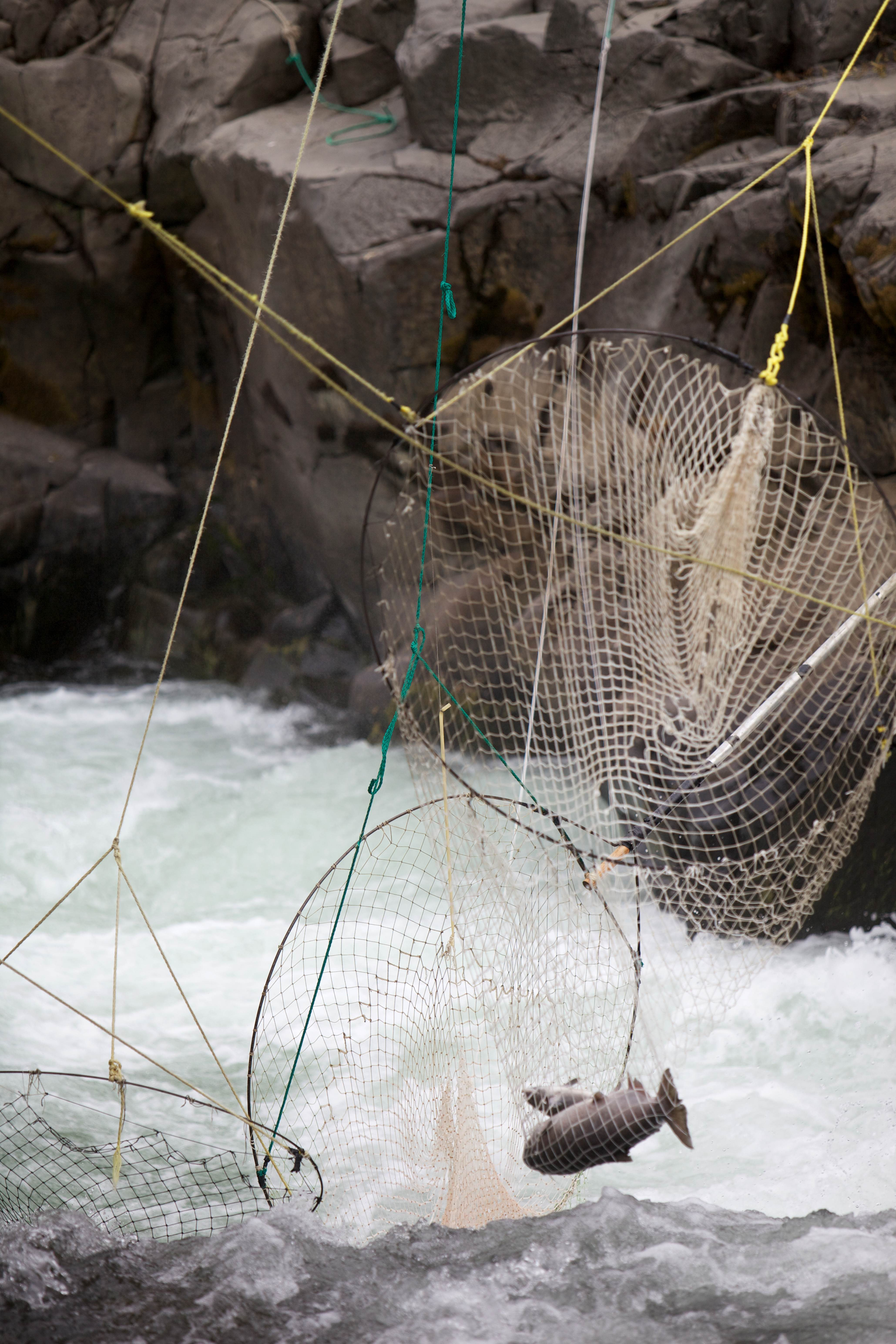 Free photograph; fall, Chinook, salmon, traditional, dip, nets