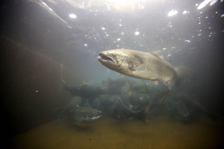 Free photograph; fall, Chinook, salmon, fish