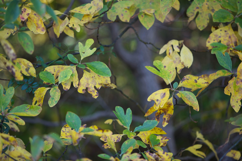 Free photograph; fall, Sassafrass, leaves, plant