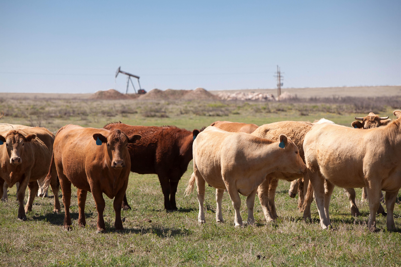 Фермы коров картинки