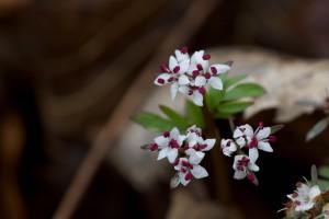 Harbinger, forår, blomst, kronblade, wildflower