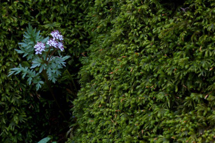 Harbinger, jaro, nativní, květ