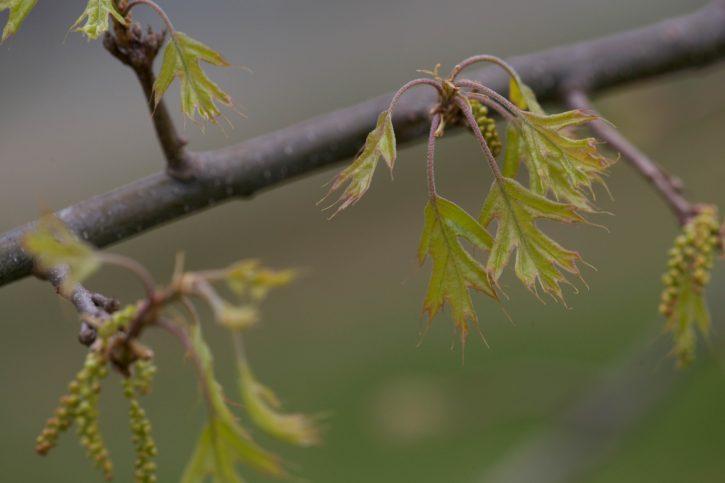 hardwood, oak, tree, branch