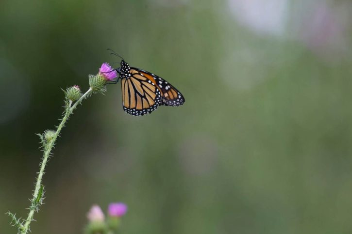 insect, monarch, butterfly, resting, thistle