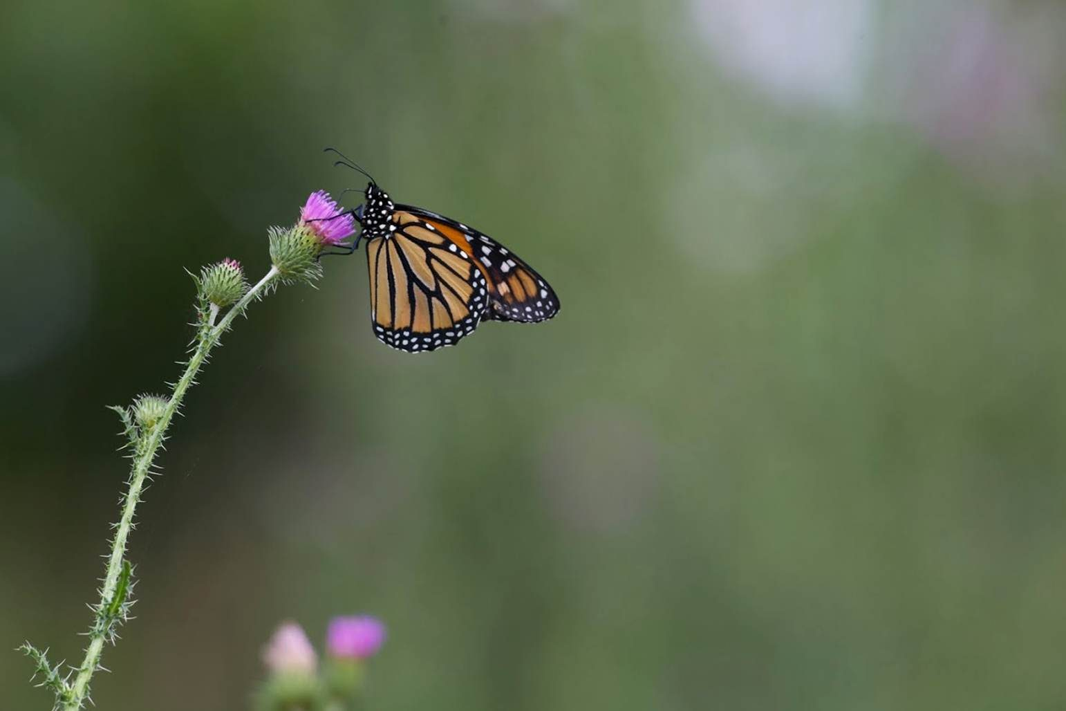 Free photograph; insect, monarch, butterfly, resting, thistle