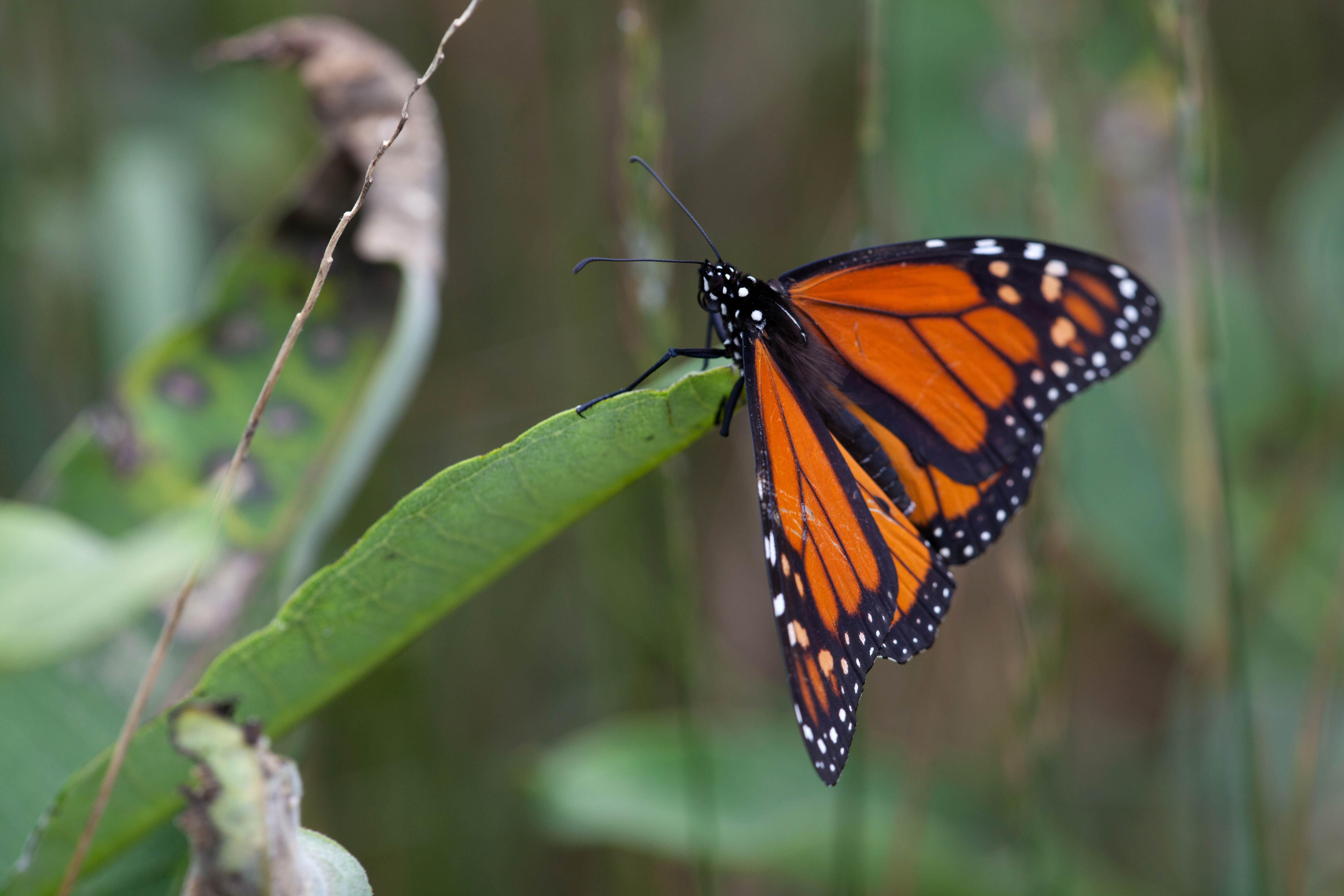 Free photograph; monarch, butterfly, insect, milkweed
