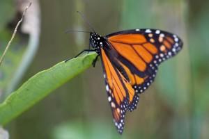 borboleta-monarca, descansando, folha