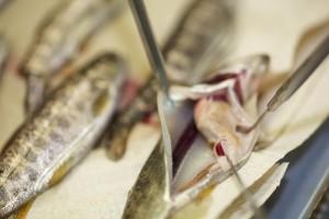 fisk, hälsa, DNA, testning
