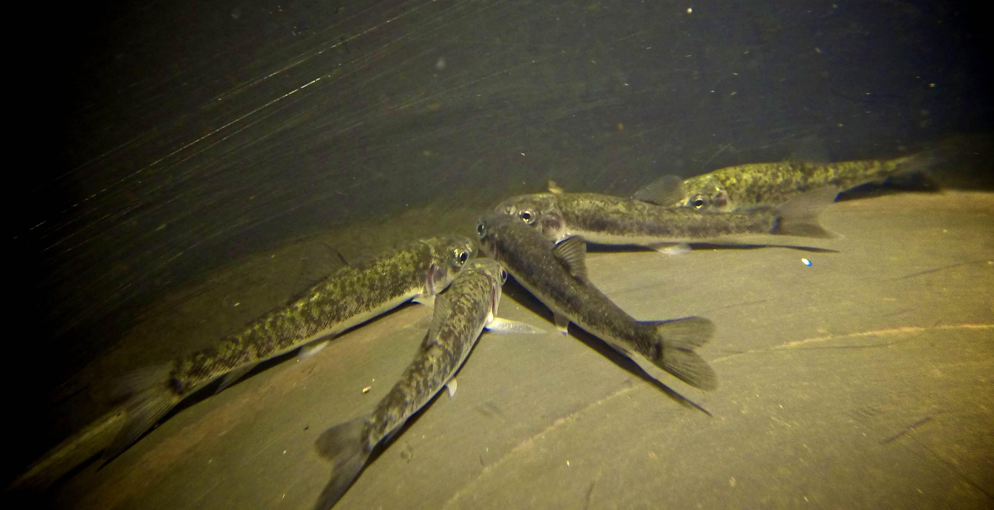 Free photograph; fishes, sucker, fish