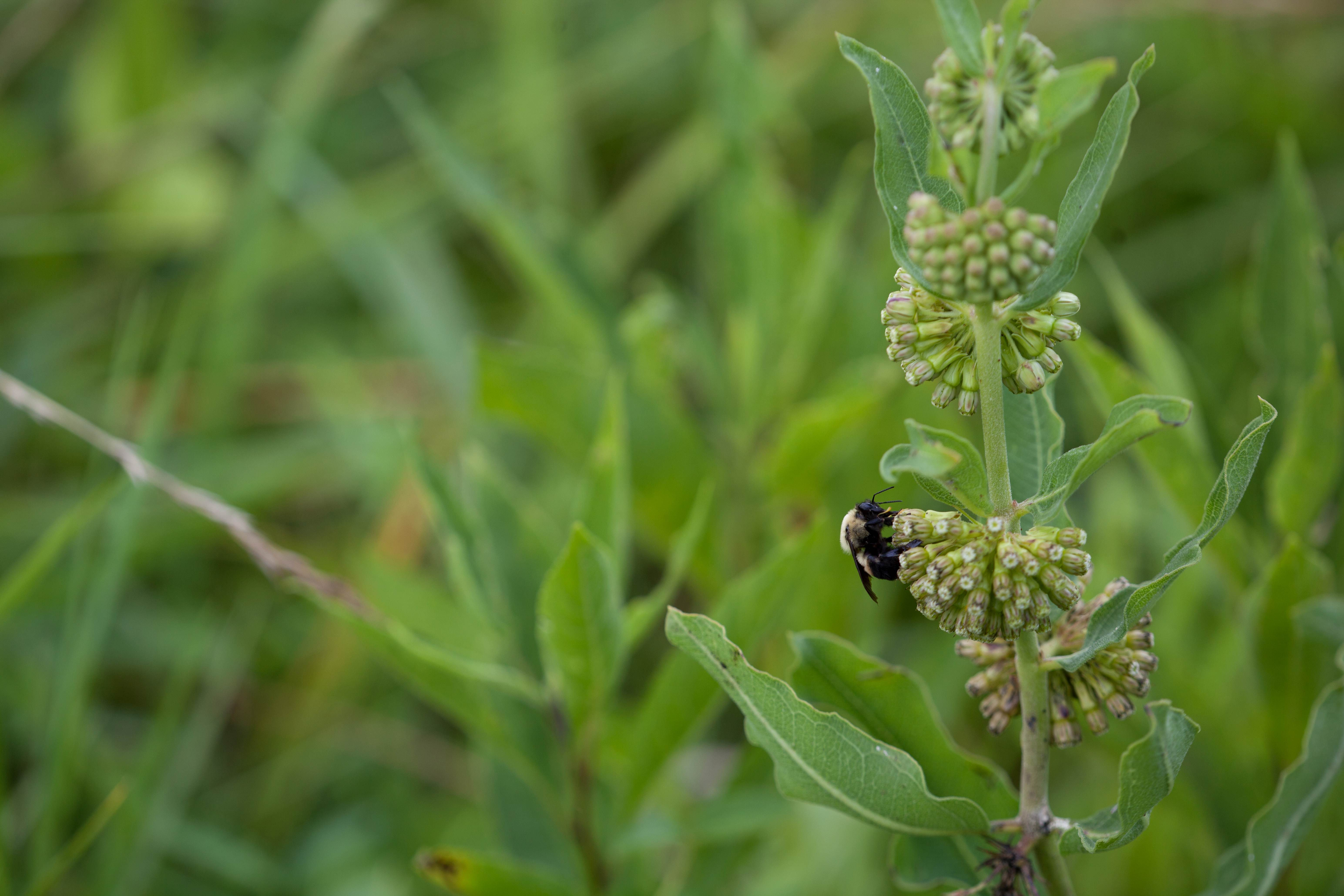 Free photograph; green, comet, mIlkweed, bee, insect