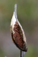 milkweed, pod, άνοιξε, εκτεθειμένη, σπόροι