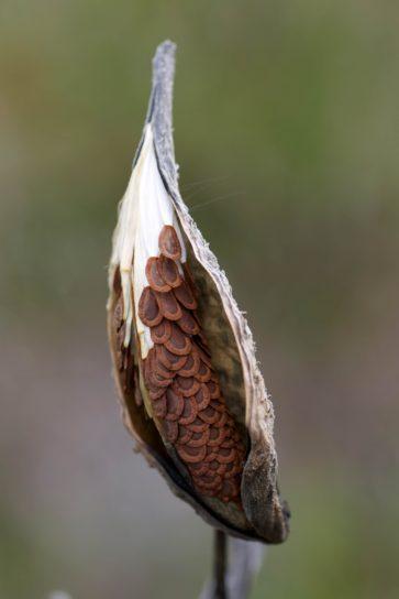 milkweed, pod, opened, exposed, seeds