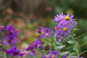 Новой Англии, Астер, завод, цветения, цветение, Флора