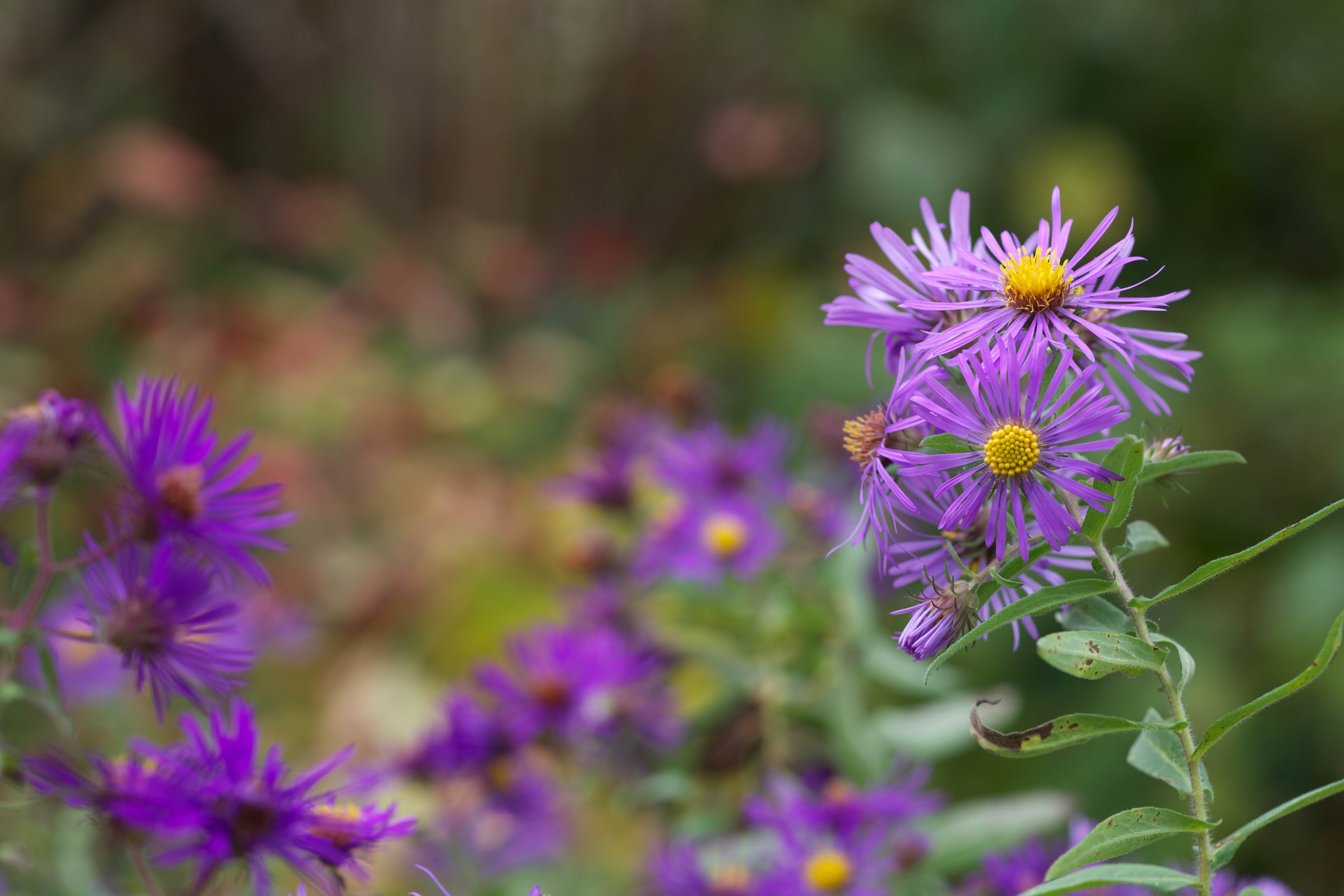 Free photograph; new, England, aster, plant, bloom, flowering, flora