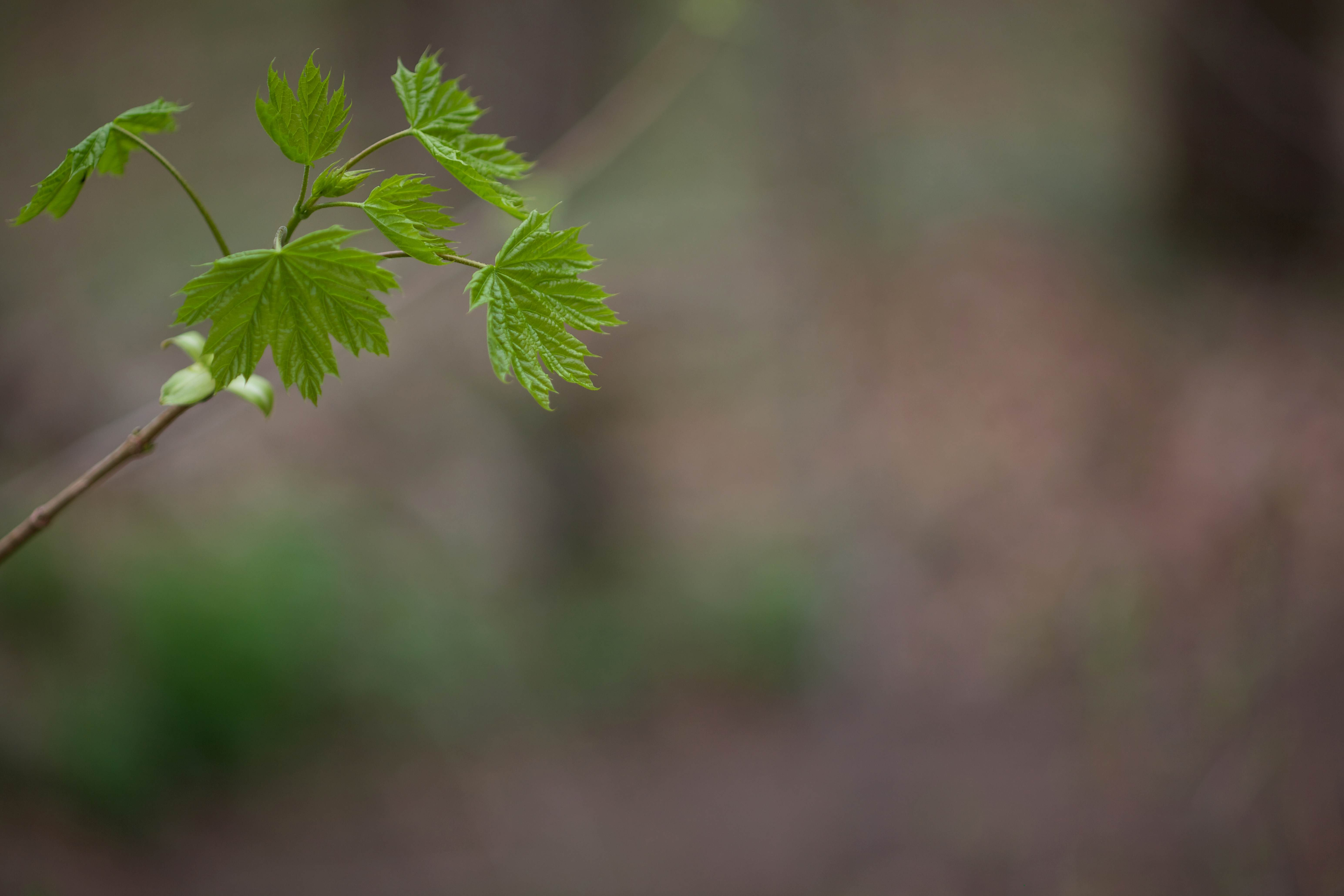 Free photograph; new, leaves, spring, Maple, branch