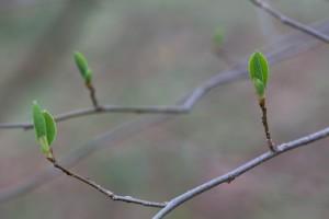 northern shrub, bush, Benjamin, bush