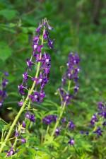 palmately, trošiljčane, lišće, labav, klasteri, potaknuo je, plavo, bijelo cvijeće