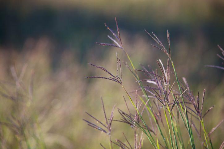 багаторічних теплий сезон, bunchgrass, насіння