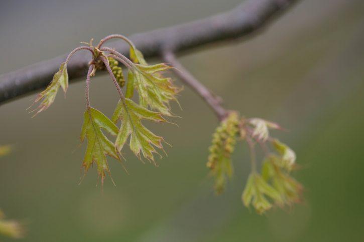 pin, oak, medium, sized, deciduous, tree, growing