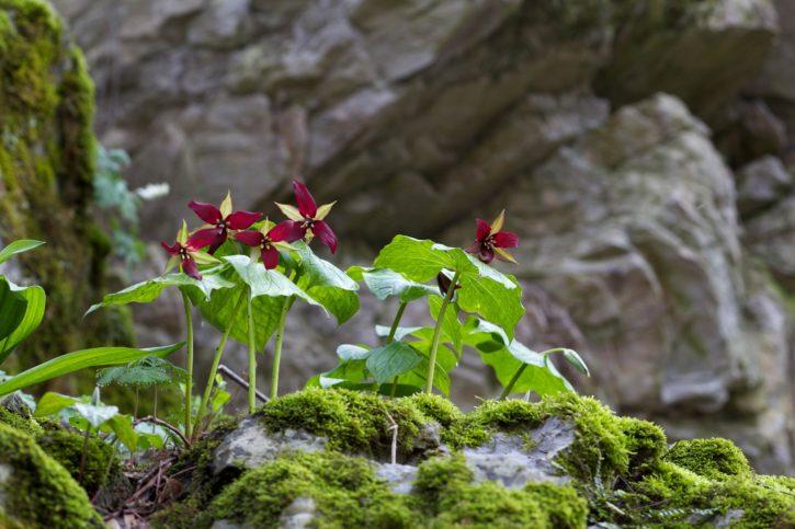 plant, flowering, wildflower, red, trillium, wake, robin