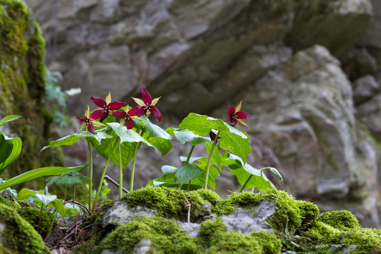 Free photograph; plant, flowering, wildflower, red, trillium, wake, robin