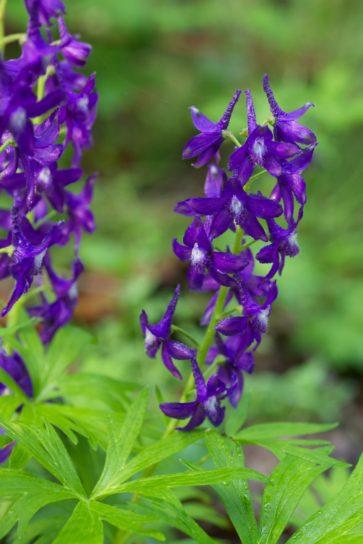 purple, flowering, spring, larkspur, plant, grass