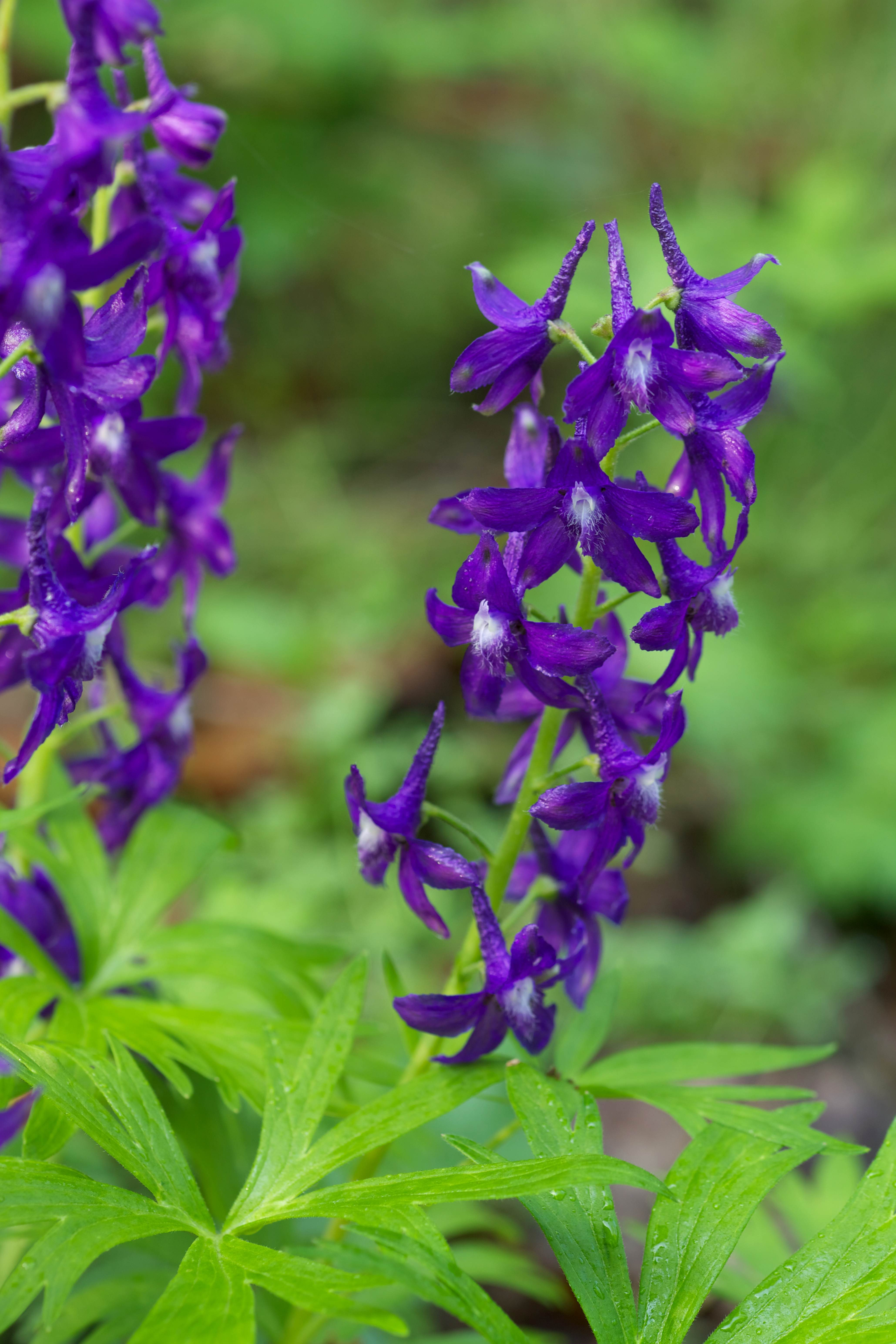 Free photograph; purple, flowering, spring, larkspur, plant, grass
