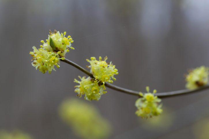 spicebush, shrub, flowering