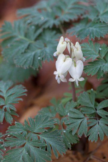 squirrel, corn, plant, flowering