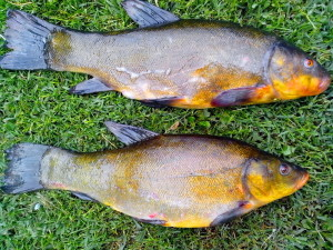 tench, fish, animal, freshwater, fish