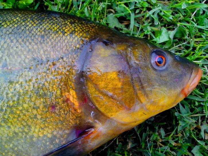tench, fish, head