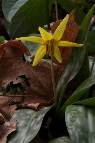trout, lily, single, nodding, flower, top, short, stalk