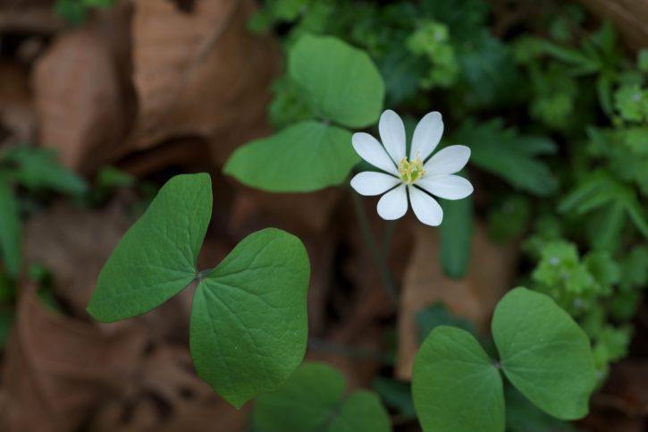 twinleaf, bloom, plant, flora