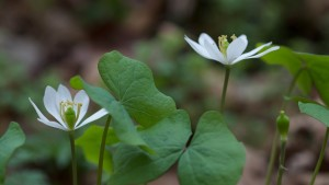 twinleaf, white flower, leafless, stalk, April
