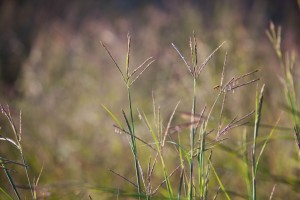 warm, season, bunchgrass, seeds