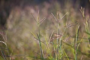 warm, season, bunchgrass, seeds