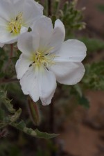 white flower, stem, evening primrose, up-close, flowering