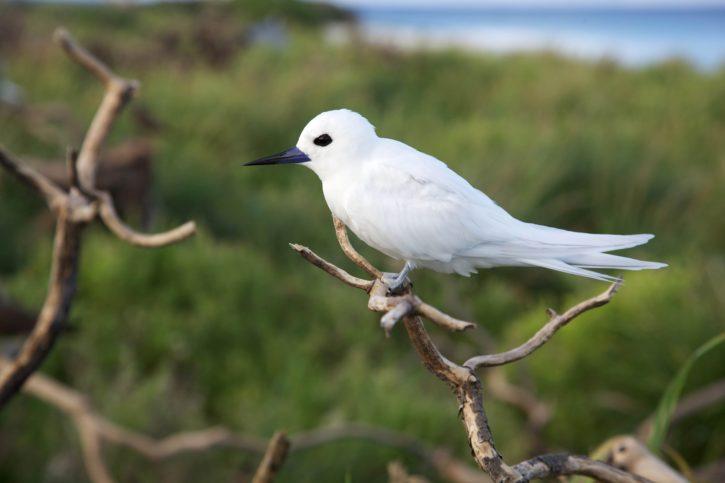 golondrina de mar blanco, pájaro