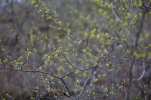 sauvage, allspice, arbuste, buisson, Benjamin, buisson