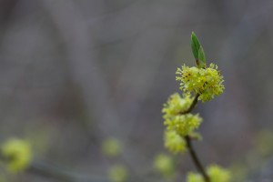 wild, allspice, shrub, bush, common, tree, plant, green