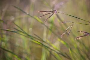 дикі, великий, bluestem, трава, близьким, рослин, поля