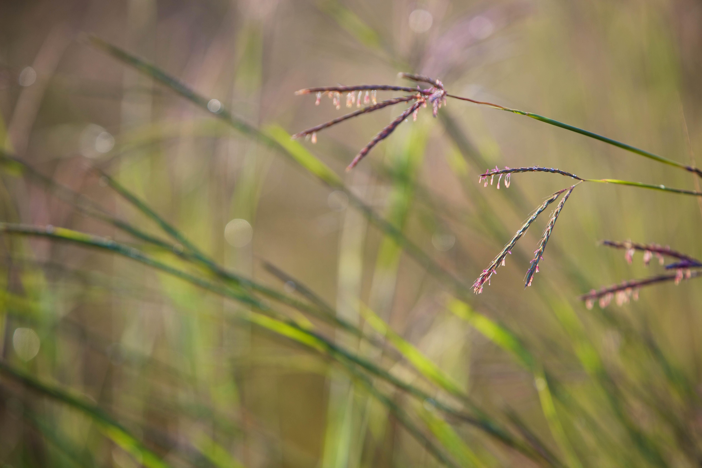 Free photograph; wild, big, bluestem, grass, close, plant, fields