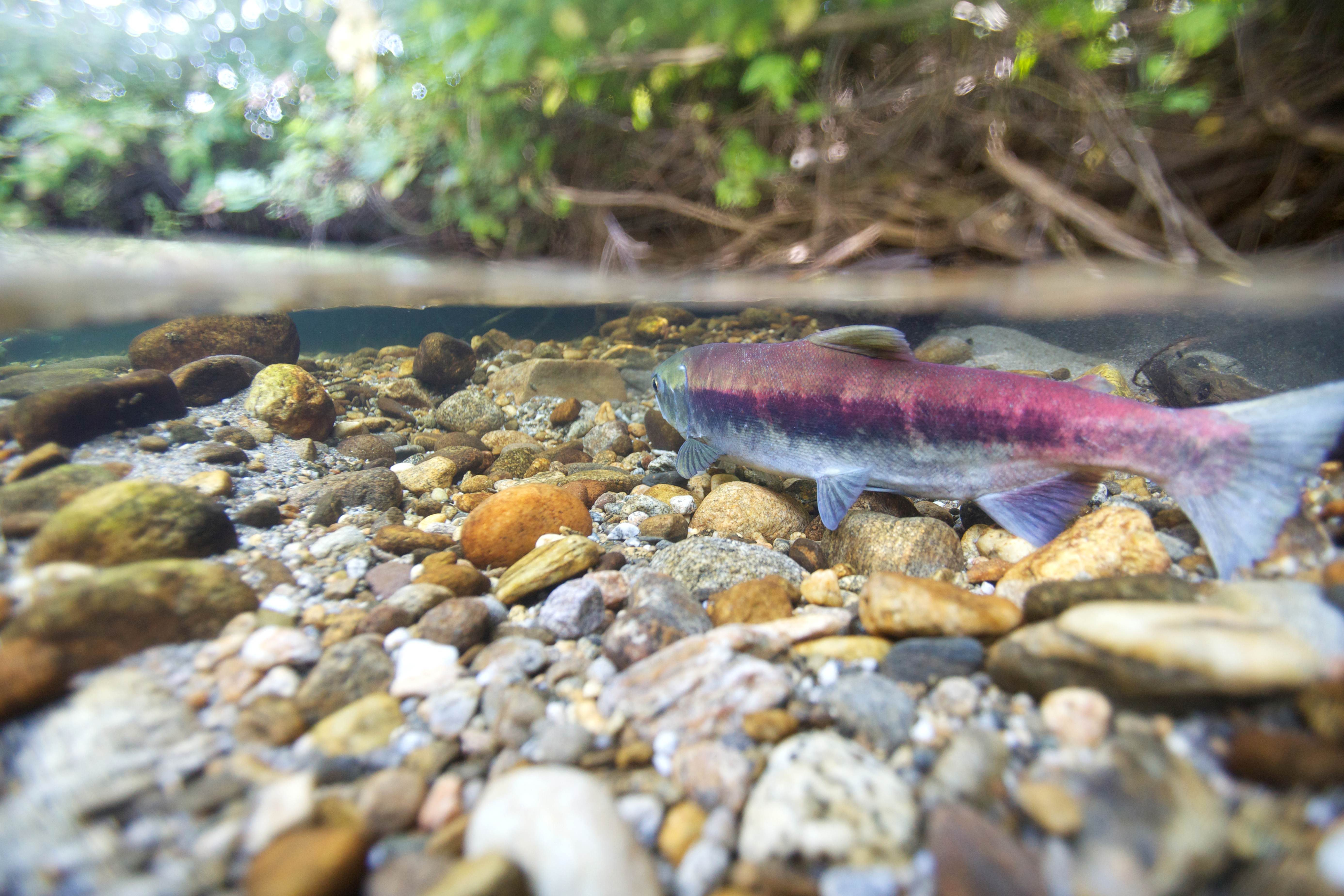 Free photograph; fish, river, sockeye, salmon