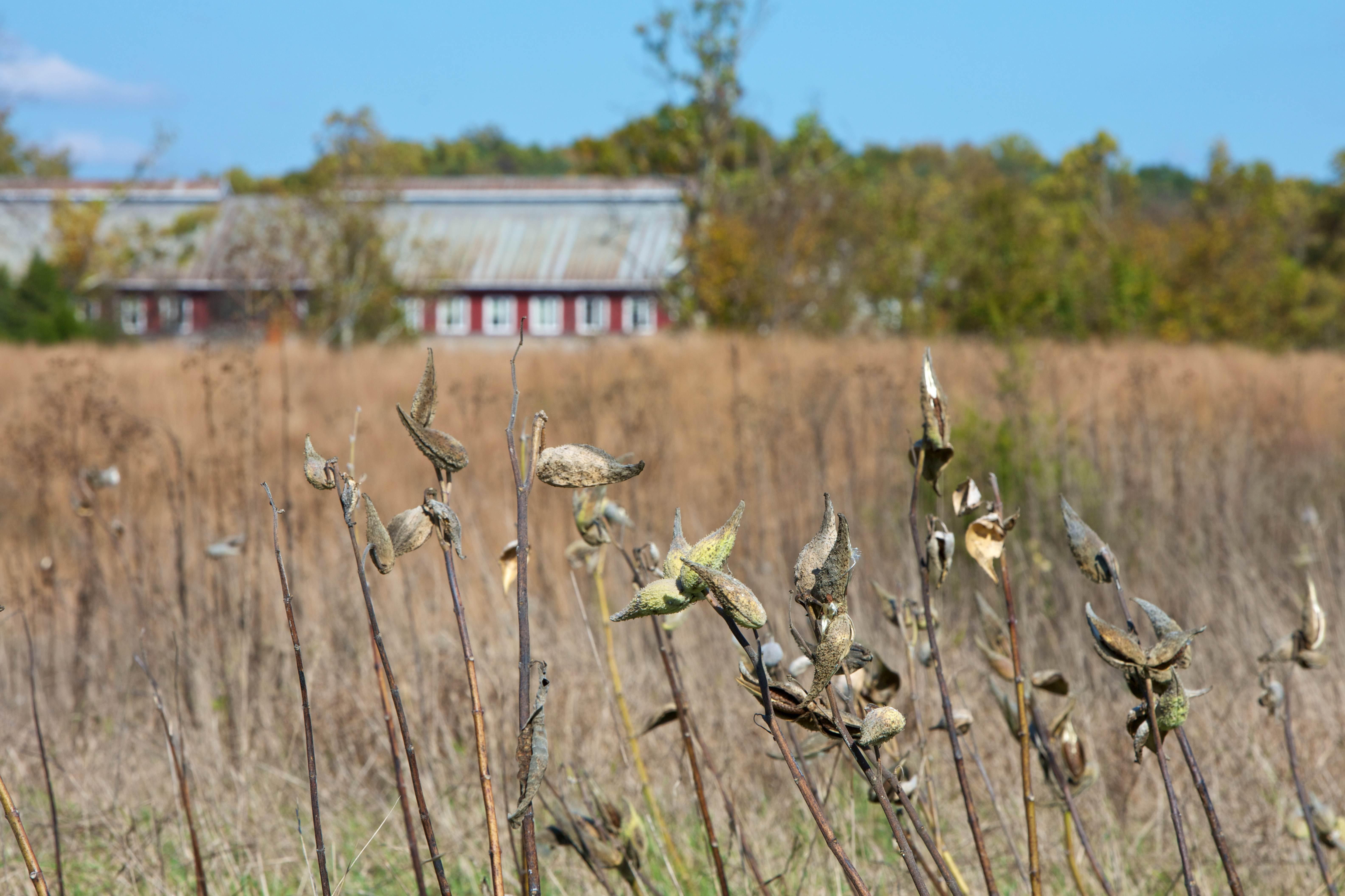 Free photograph; grass, milkweed, barn, farm