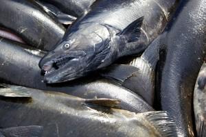 tête, quinnat, le saumon, le poisson, à proximité