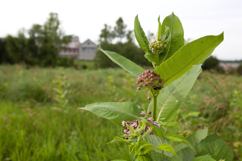 Free photograph; milkweed, blooms, near, building